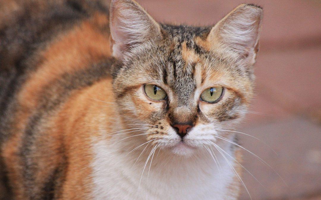 Cats can develop Diabetes