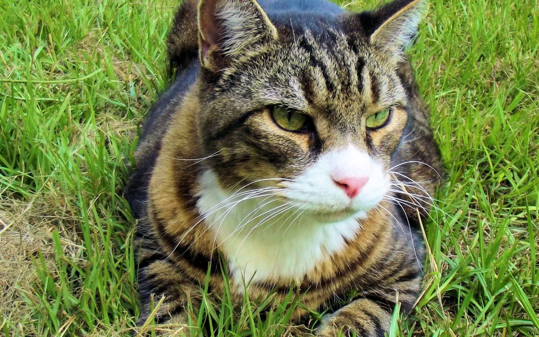 Older Cats are more prone to Kidney Problems
