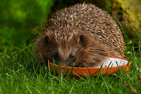 Our wonderful hedgehogs are thirsty and need our help