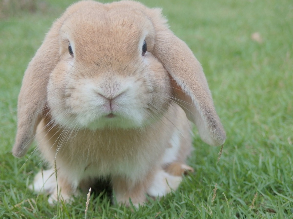 Rabbits and their welfare needs