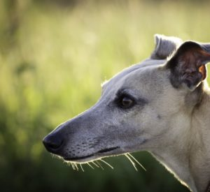 Adopt a Greyhound Dog