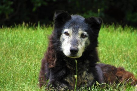 Arthritis is very common in our elderly canine friends