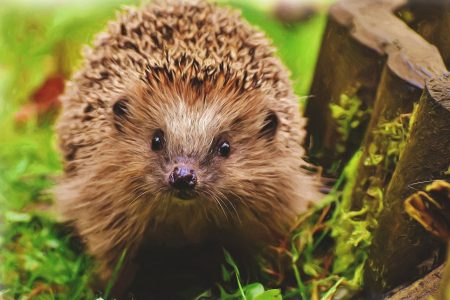 Our amazing native prickly-friend, the hedgehog